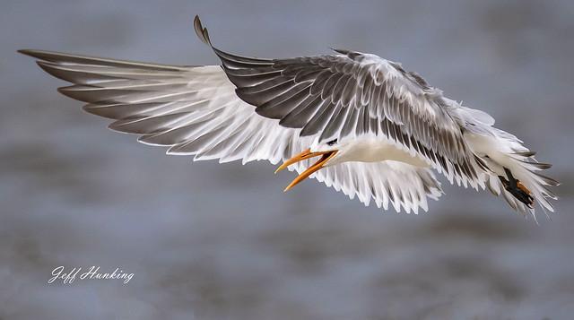 A detailed look at a royal tern.