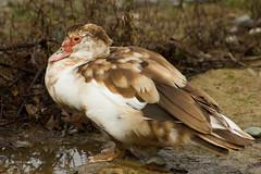 Muscovy Duck 7649