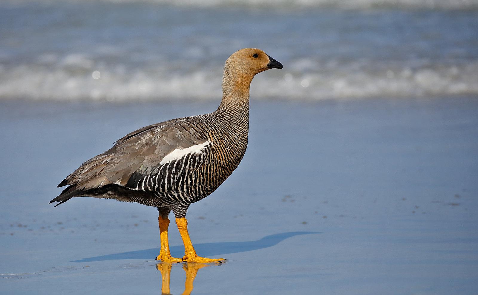 Upland Goose  - female