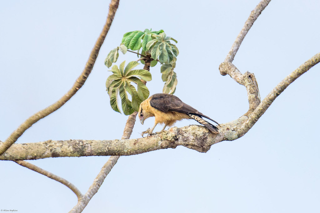Yellow-headed Caracara (Milvago chimachima)