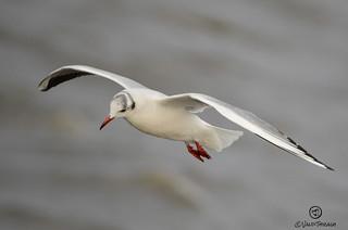 Gaviota. Seagull