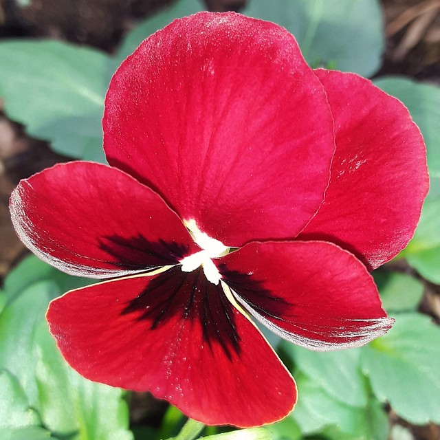 Red Pansy.