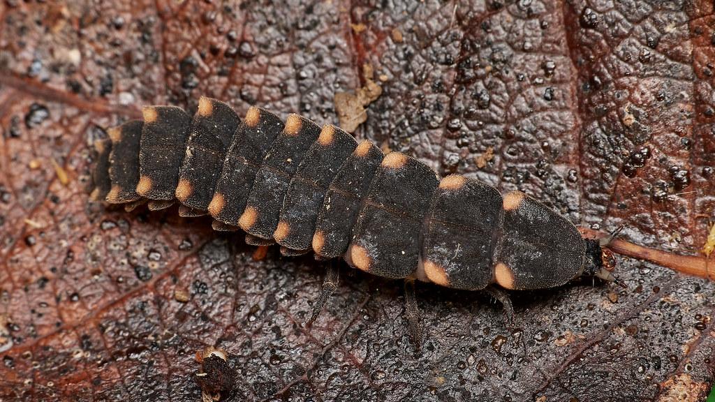glow-worm larva, Lampyris noctiluca
