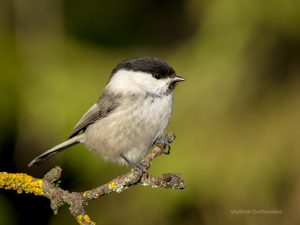 Ontogeny Of The Vocal Repertoire In The Willow Tit Parus Montanus