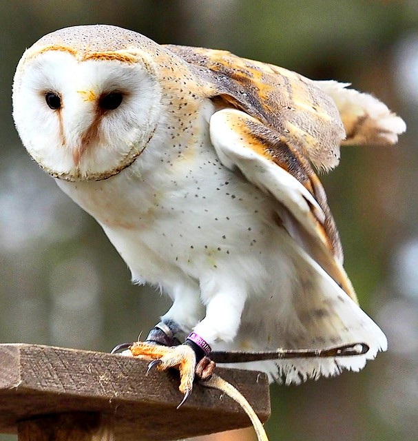This Barn Owl was seen in the Animal Park (Wildpark Alte Fasanerie) during the Bird of Prey Flight  Show of the Falconer Mr. Detlef.