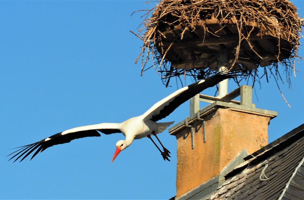 Ein Storch im Heidelberger Tierpark