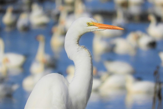 White on White: Great Egret and Snow Geese