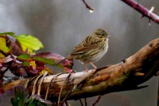 Lincoln's Sparrow, Snoqualmie Valley, WA 12/11/19