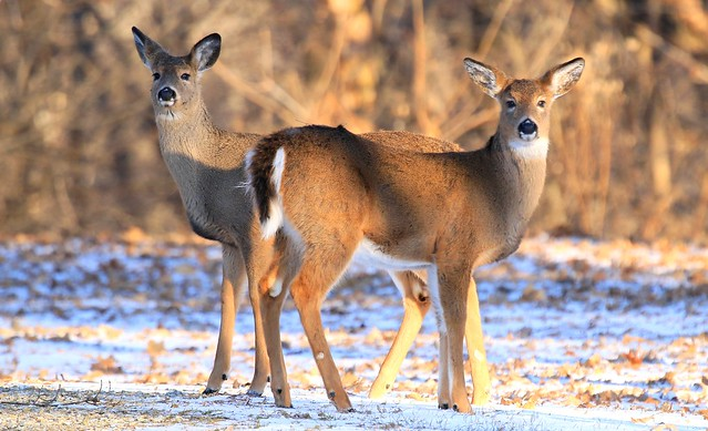 white-tailed deer yearlings at Lake Meyer Park IA 653A1231