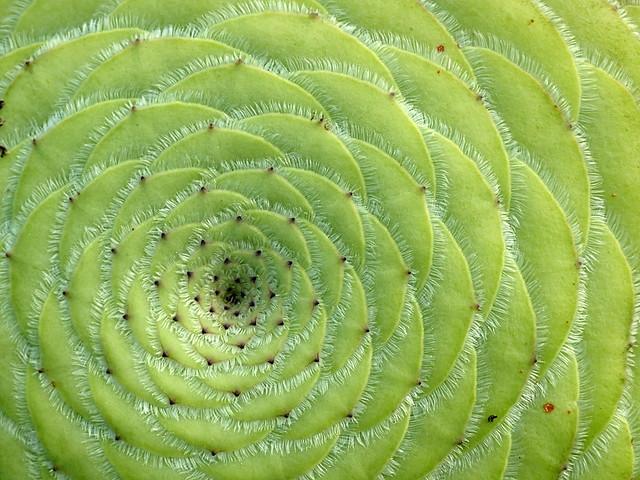 Aeonium tabuliforme