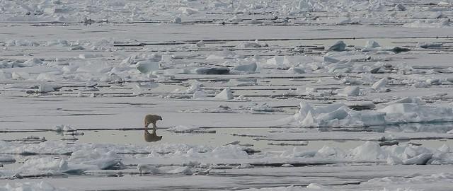... verso l'80° parallelo nord (21) ... l'orso, il suo mondo e le sue prede ...