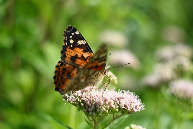 Painted Lady       Solagon 50mm  F 2.0