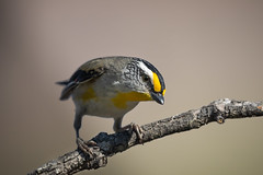 Striated Pardalote (Pardalotus striatus)