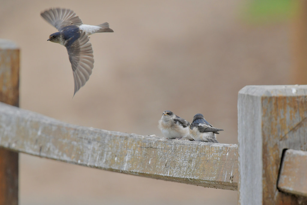 Tree Martins  ( its a waiting  game )