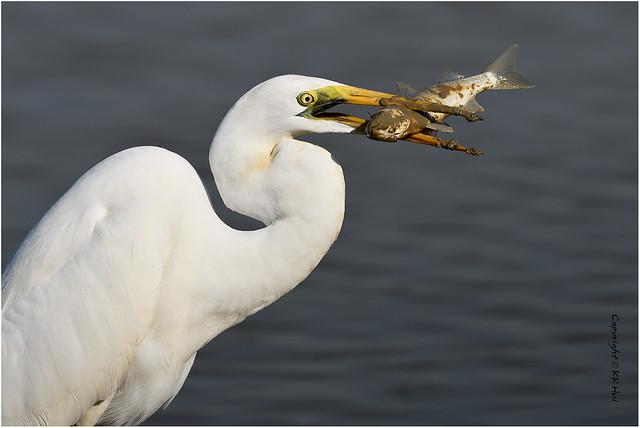 Great Egret (Ardea alba) 大白鷺 - 221119_DSC4295n