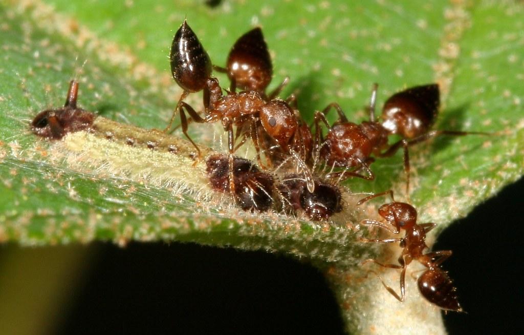 正在被舉尾蟻照護的虎灰蝶幼蟲。照片來源:王俊凱