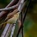 The Brown Shrike (Lanius Cristatus)
