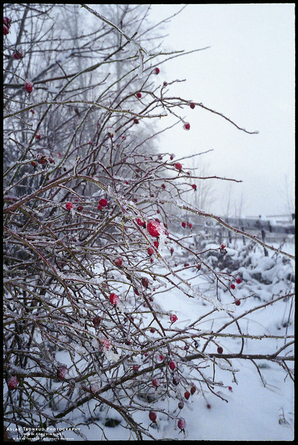 Frozen rosehips at Tveten farm