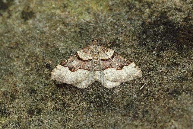 70.048 Red Carpet (Xanthorhoe decoloraria), Glen Tilt, Perthshire