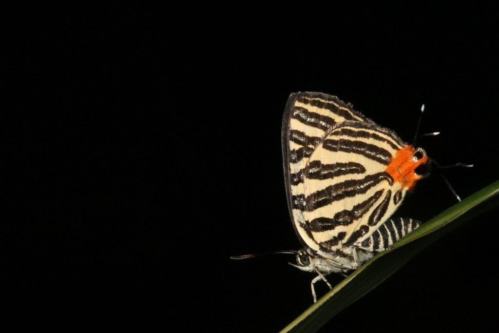 虎灰蝶成蟲。照片來源:王俊凱