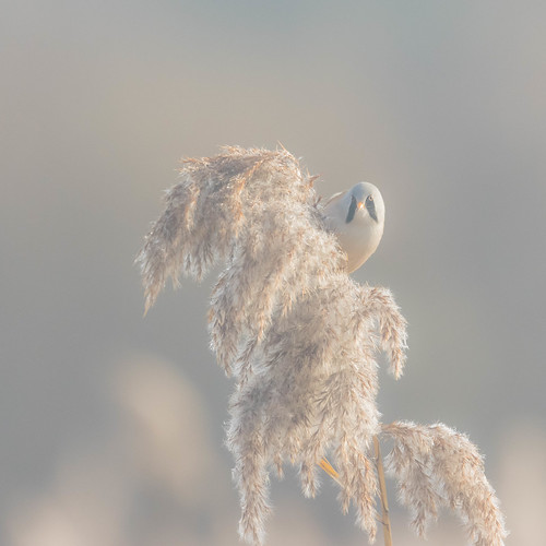 beardedtit dorset rspb beach wildlife jurrasiccoast purbeck durdledoor bird jurassiccoast arch lulworth panurusbiarmicus sunrise radipole sea weymouth england unitedkingdom