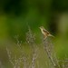 The Zitting Cisticola or Streaked Fantail Warbler (Cisticola Juncidis)