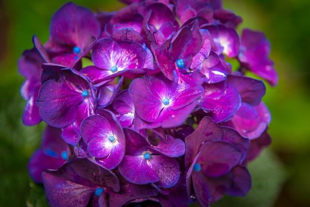 Sangre violeta