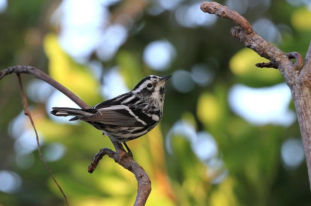 Black-and-white Warbler / Paruline noir et blanc ( Diane )