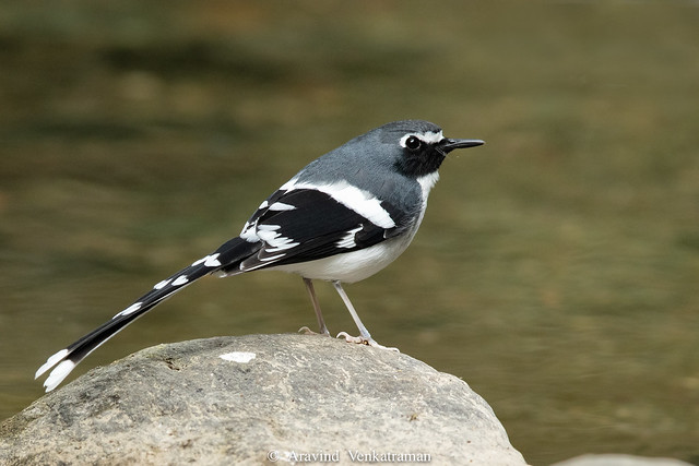 Slaty backed forktail