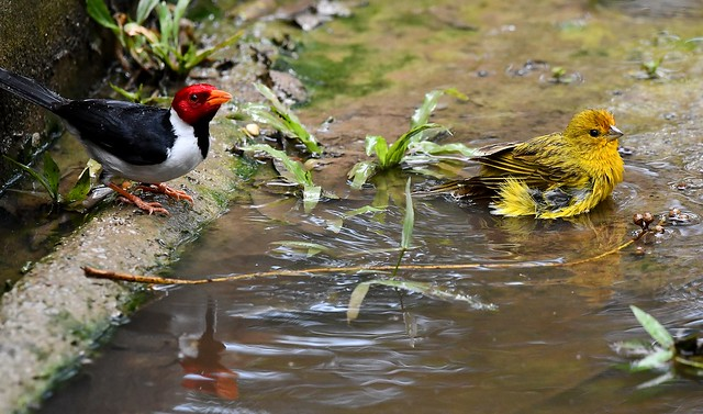 Red-capped Cardinals bathing in a Pantanal Puddle, Brazil.