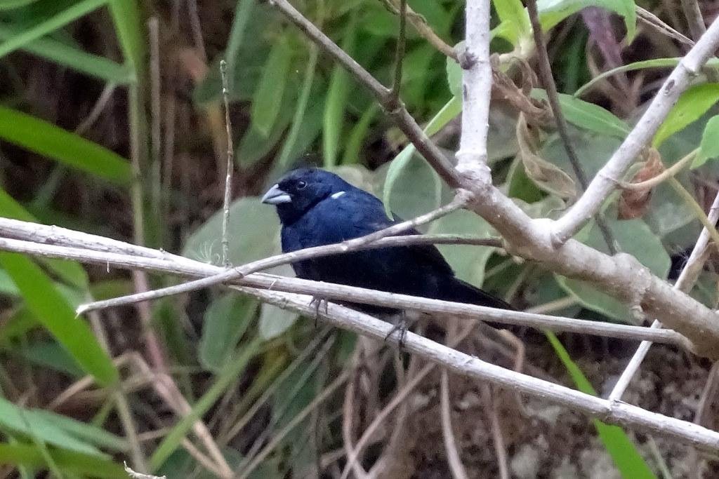 Blue-black Grassquit - Panama (Belegbild)