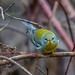 frank.king2014 posted a photo:Northern Parula, Kelly's Brook