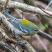 Northern Parula, Kelly's Brook