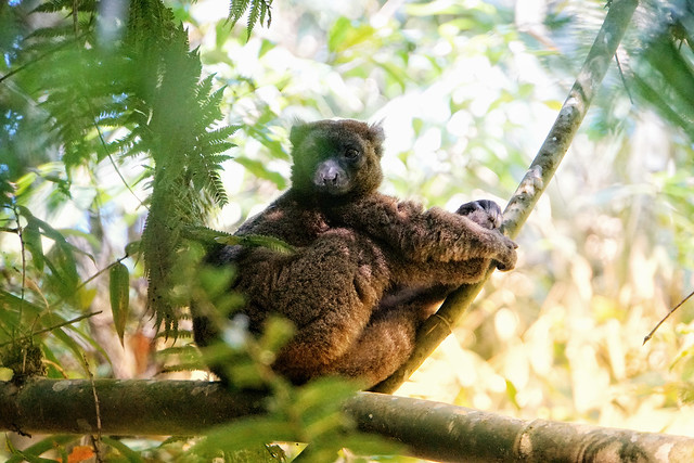 Lemur at Ranomafana NP
