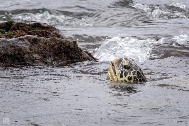 Turtle at Napili Beach, Maui