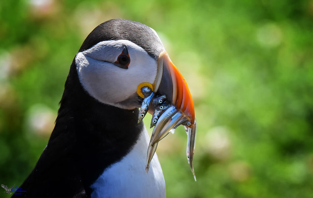 Gorgeous Puffin.