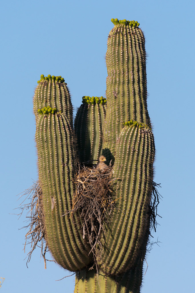 A Harris's hawk hatchling sits up and looks out from its nest in a saguaro on the Chuckwagon Trail in McDowell Sonoran Preserve in Scottsdale, Arizona in May 2019