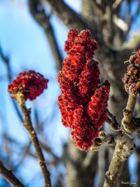 Staghorn Sumac Fruit (Drupe) - Fruit du sumac vinaigrier (Drupe)