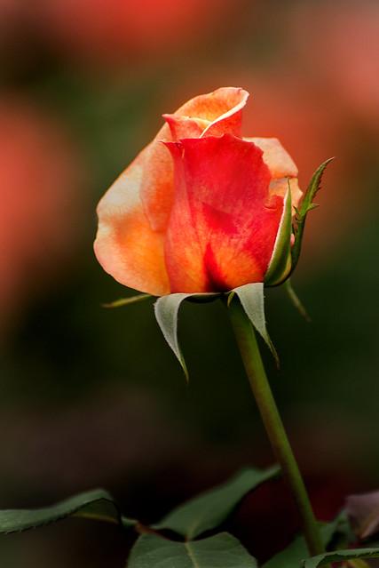 Another Rose Bud 3-0 F LR 10-12-19 J264