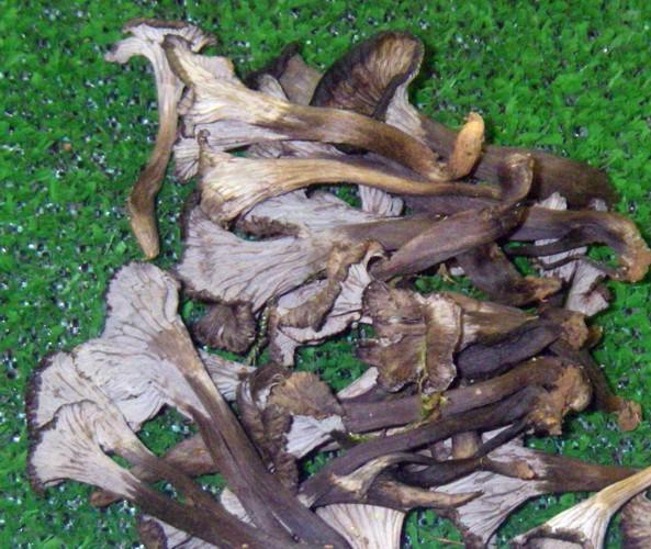 Cantharellus cinereus 49209210073_c5c30e08d7_o