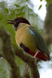 Noisy Pitta (Pitta versicolor), Lamington National Park, Queensland, Australia