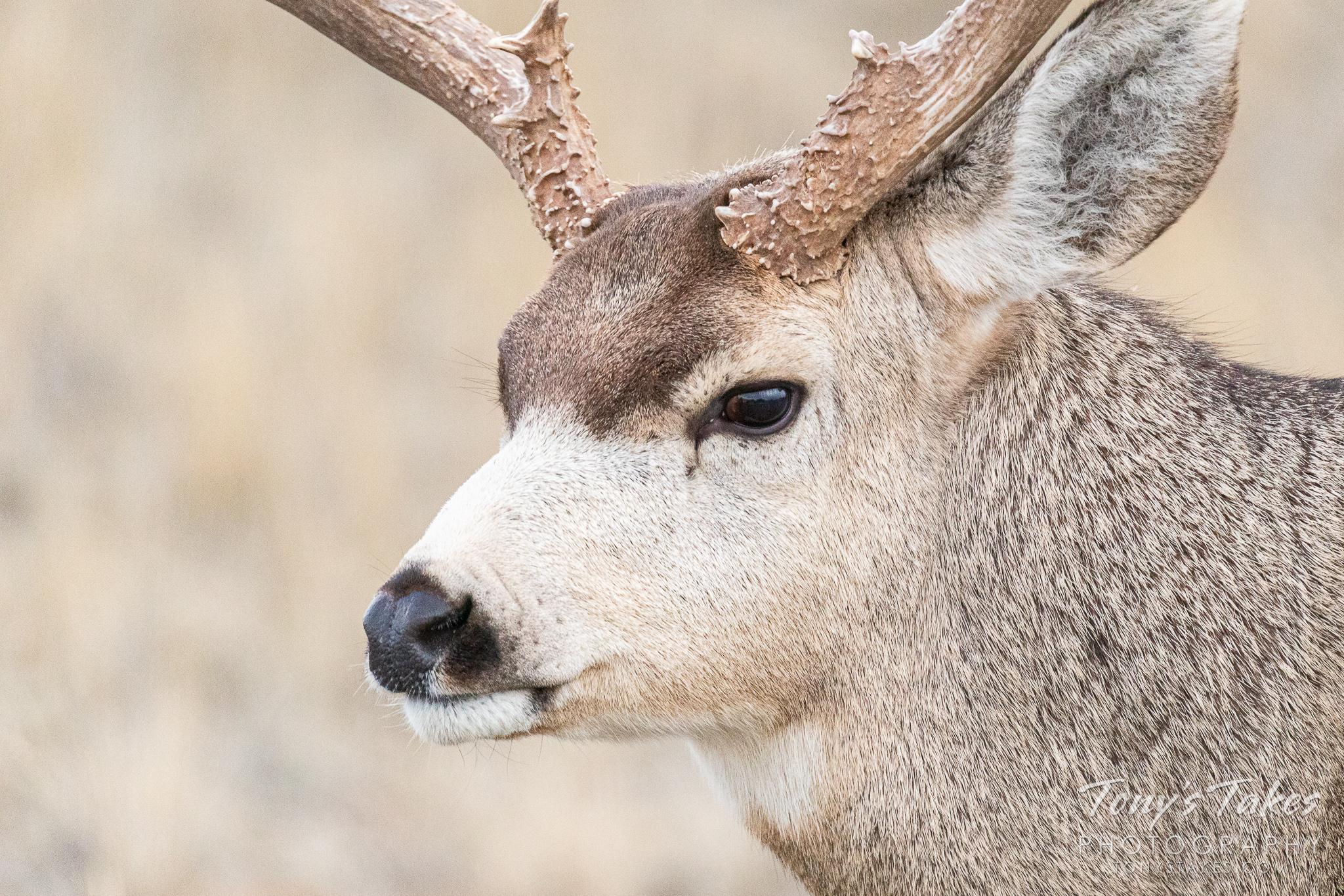 Closeup profile of a mule deer buck. (© Tony's Takes)