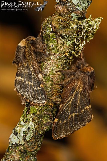 Female December Moth (Poecilocampa populi)