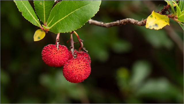 Erbeerfrucht
