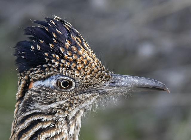 Greater Roadrunner Portrait (Geococcyx californianus)