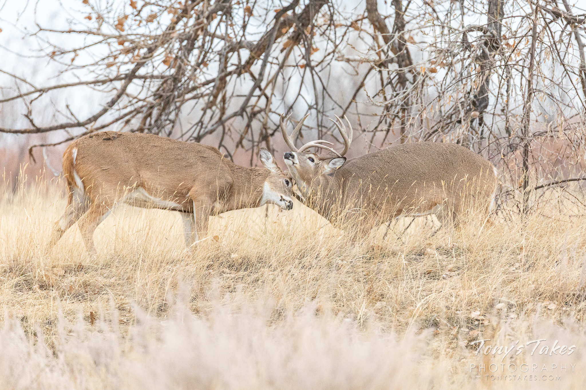 White-tailed deer bucks go head to head in Colorado. (© Tony's Takes)