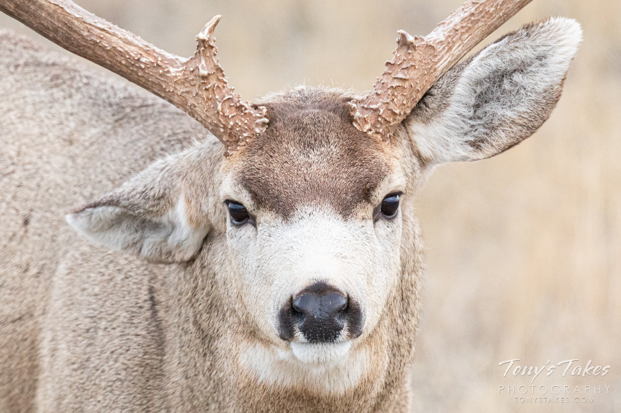 Head on and close up with a big mule deer buck