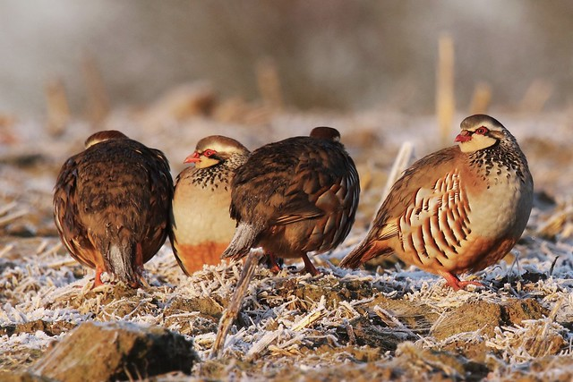 Red-Legged Partridge (Alectoris rufa)  Moor lane Woodchurch