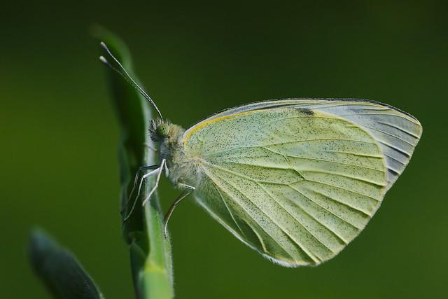 Pieris brassicae (2)