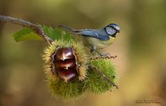 Herrerillo común. (Cyanistes caeruleus).